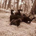 Dogs in Paradise: Among the Ponderosa pines of the Ochoco National Forest